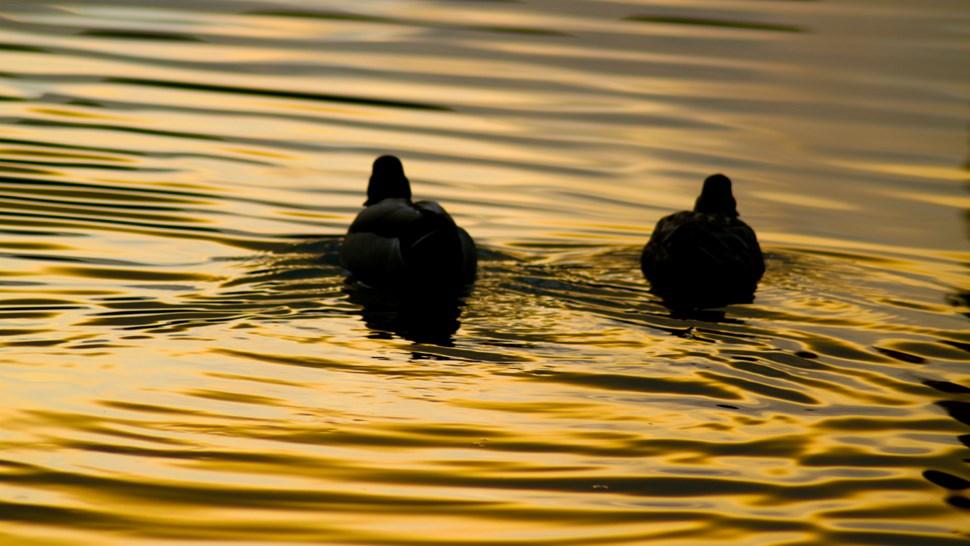 2-ducks