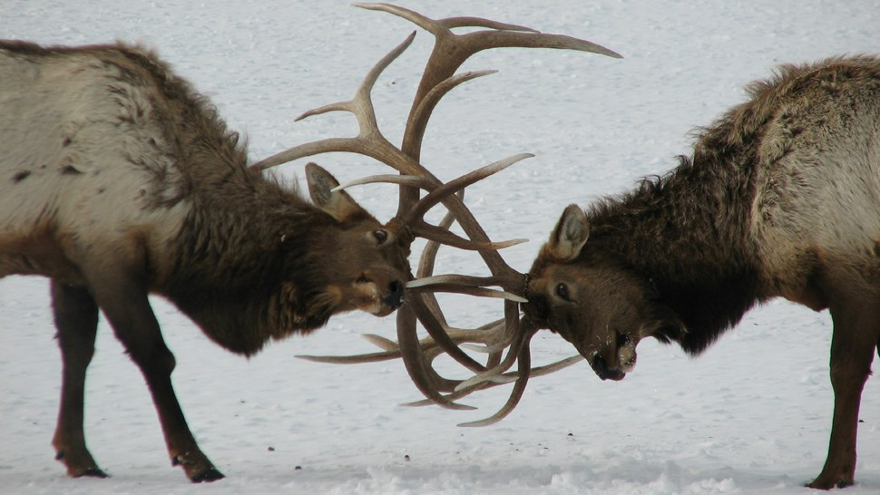 Clash of antlers