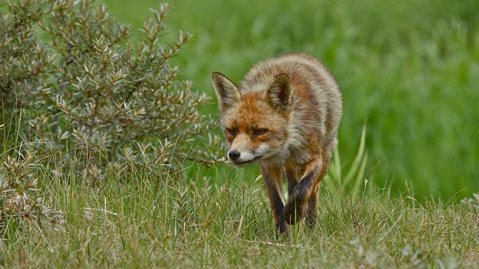 fox-hunting
