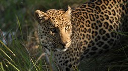 When a leopard changes its name, it doesn't mean it won't be spotted