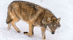 Who's afraid of the big bad wolf? Probably Telefonica and Hutchison